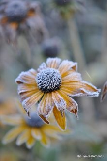 Icy Rudbeckia finally finished off by the Frost.