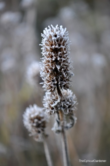 Stachys Officinalis, otherwise known as Betony.