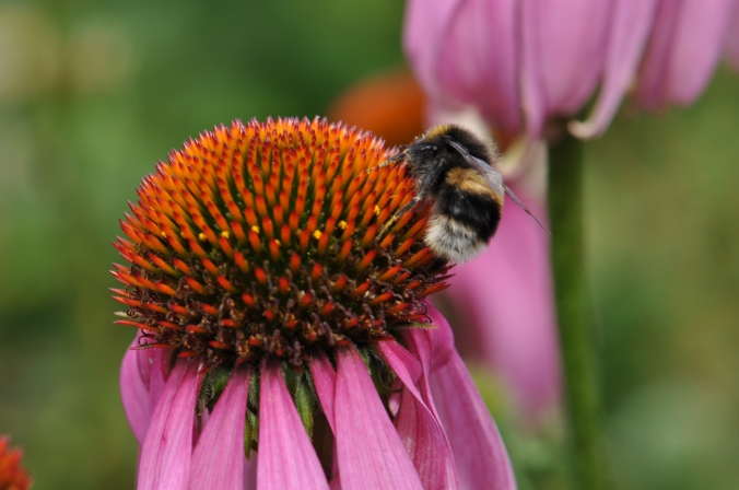 Bees on Echinacia