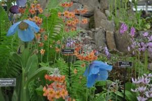 Primulas and Mecanopsis sp.