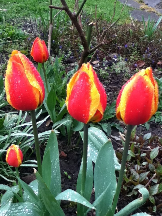 Easter Tulips.