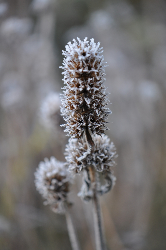 seed heads in the ice.
