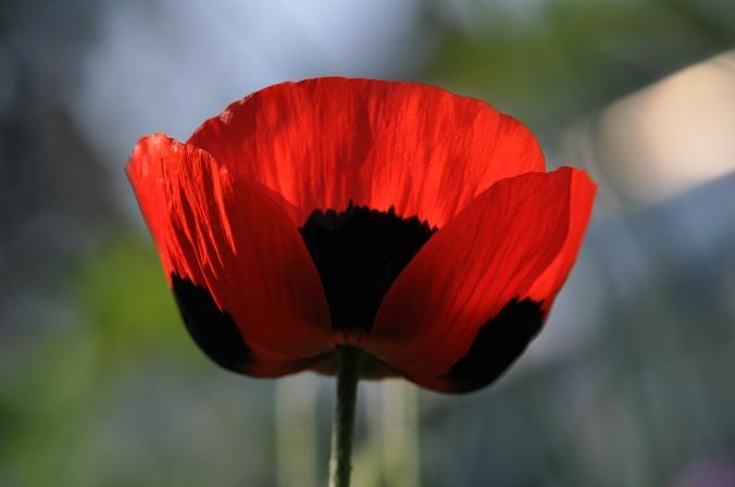 Ladybird Poppy.