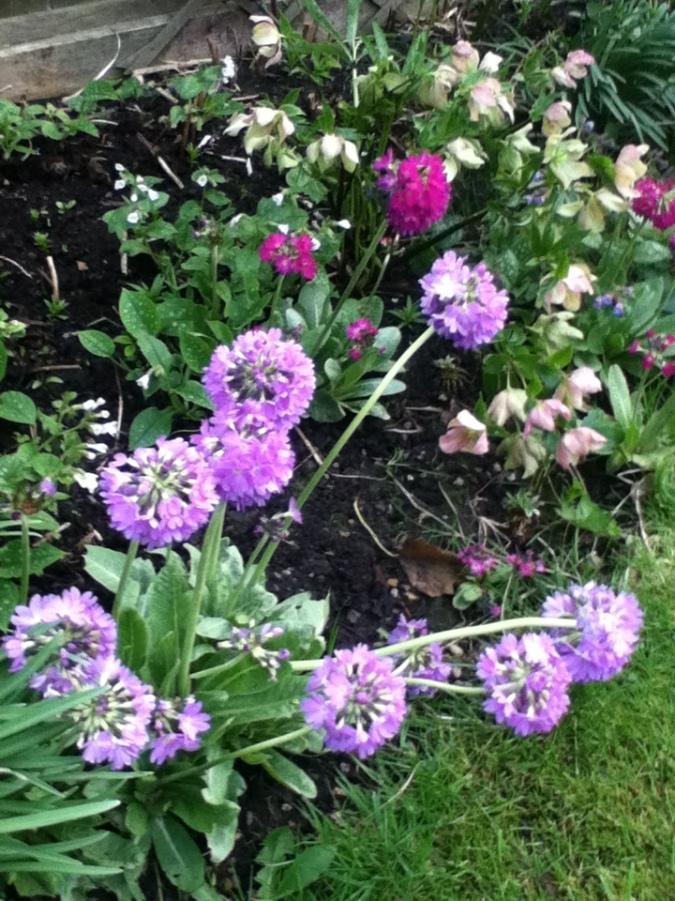Primulas in flower.