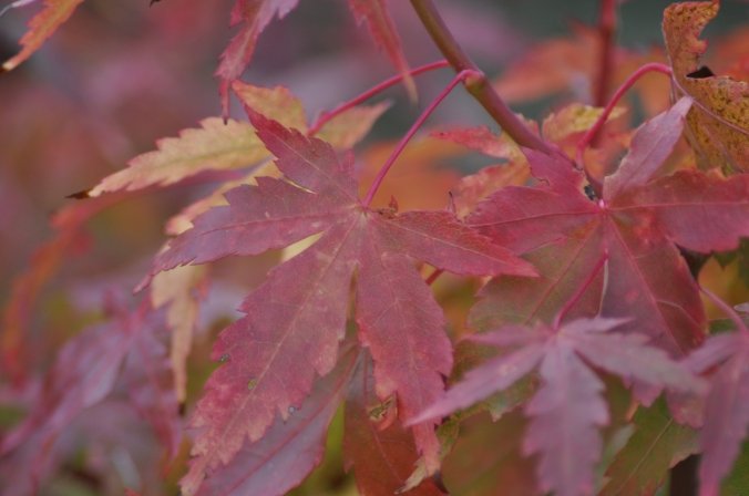 Acer leaves.