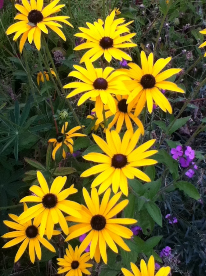 Rudbeckia hanging on till 1st frost.