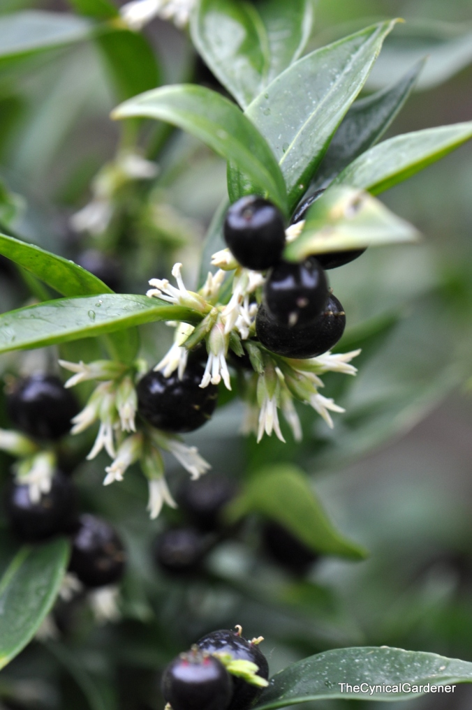 Sarcococca hookeriana In flower and fruit.