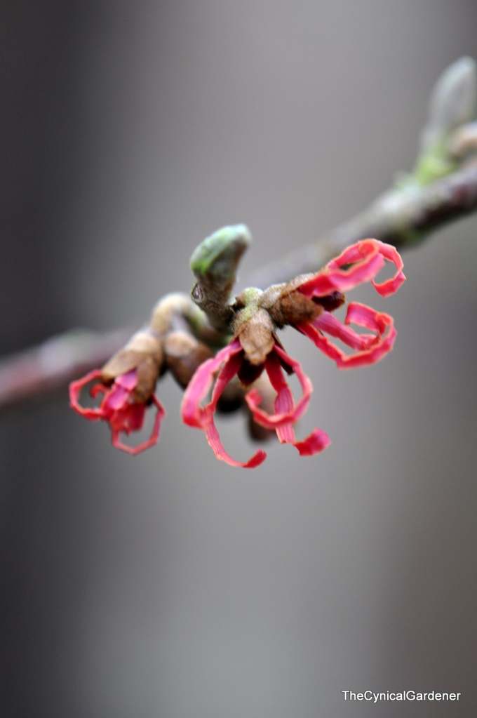 Red flowering Hamamelis. (will find the label one day).