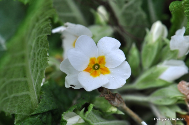 Another Stray Primula.