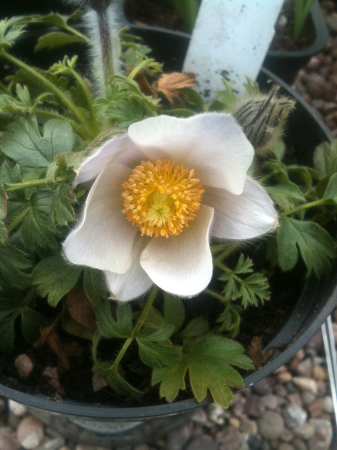 Pulsatilla in flower, otherwise known as the Pasque Flower.