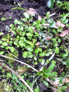 Baby Hellebores... hundreds of them.!