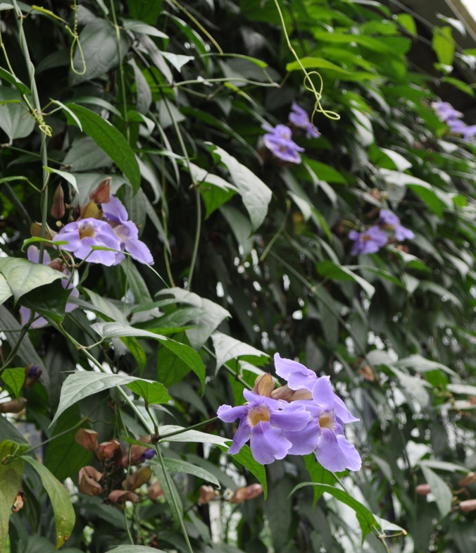 The Climber Thunbergia lavifolia from Indo-china.