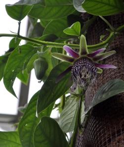 Passiflora Species.