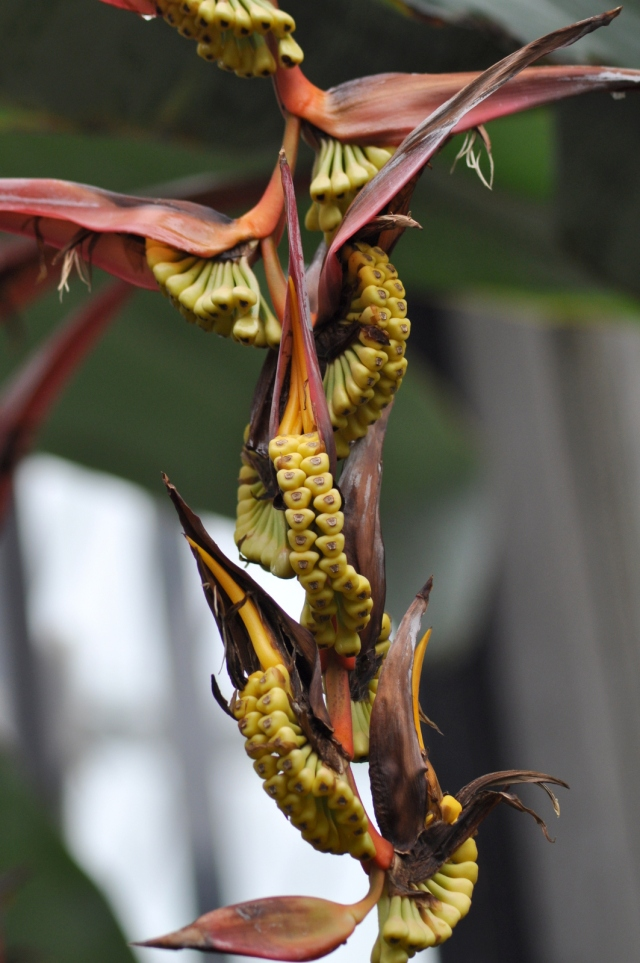 Fruits of the Heliconia collinsiana var. Collinsiana. It resembles a Bananna plant, but can reach 16ft tall.!