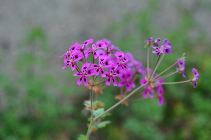 Pelargonium echinatum.