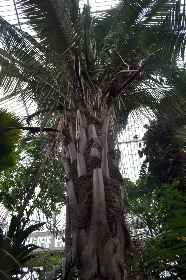 This beast lives under the central dome of the Palm House. It's An Attelea.