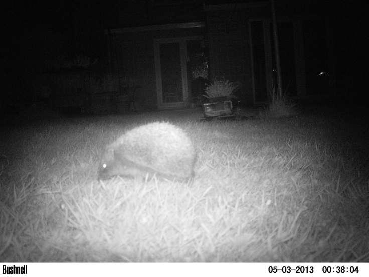 Hedgehog..!!