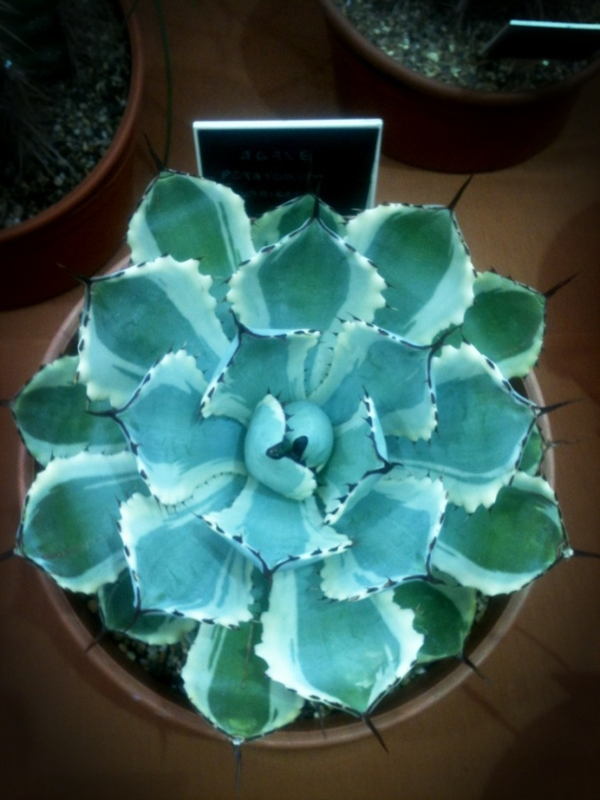 Lovely Agave, not for sale, for you Agave lovers out there.