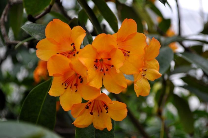 Rhodendron javanicum Var javanicum at Kew Gardens.