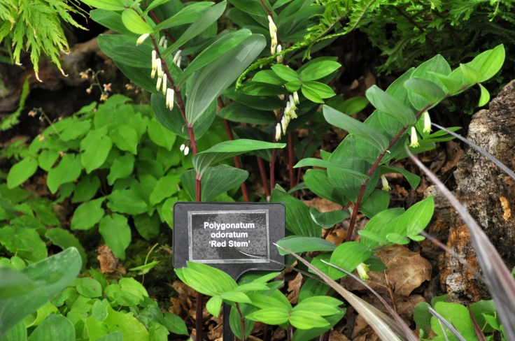 Polygonatum odoratum 'red stem'