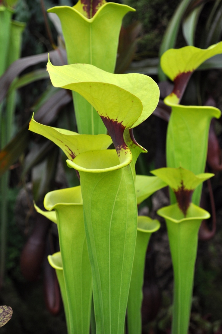 Sarracenia Flava with a red throat.