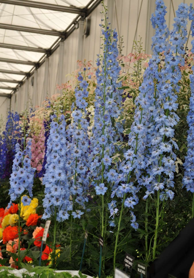 Delphiniums from Blackmore & Langdon