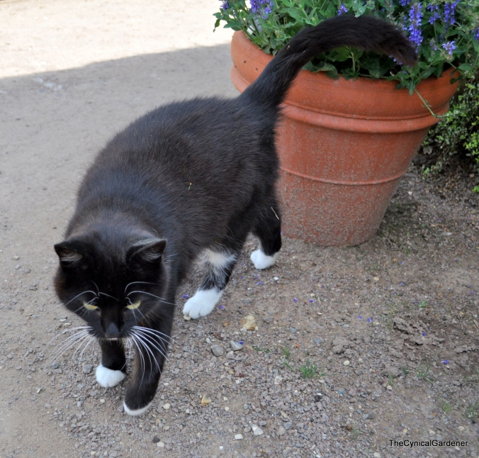 Mystery Puss cat.
