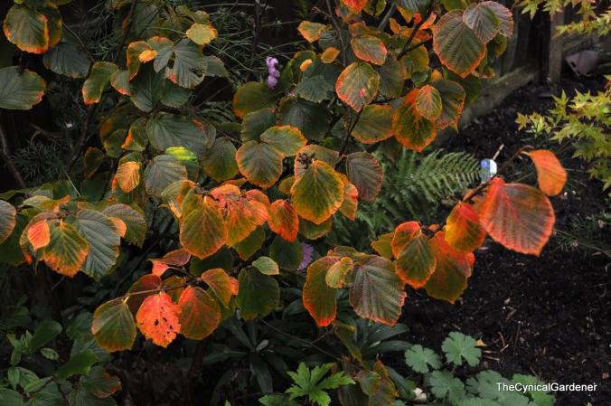Autumn colour on Hamamelis.