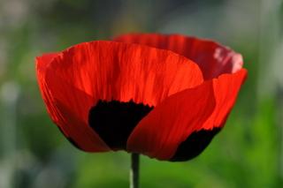 Pavaver 'Ladybird'