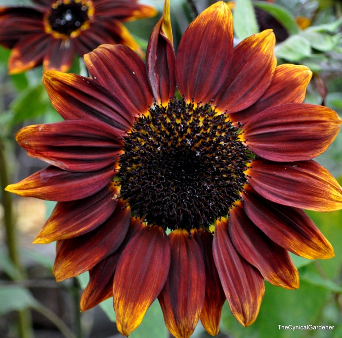 Sunflower 'Shock-o-lait'