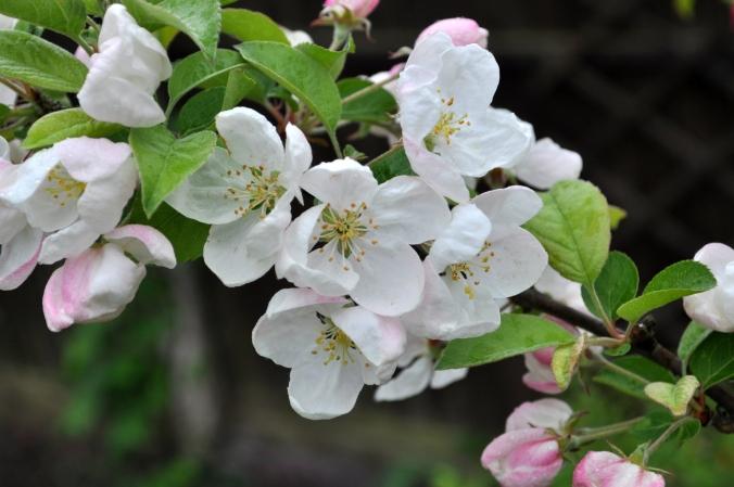 Crab Apple Blossom...
