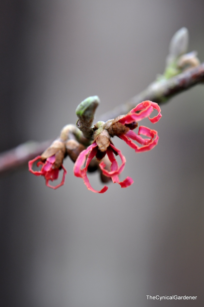 Hamamelis Magic Fire