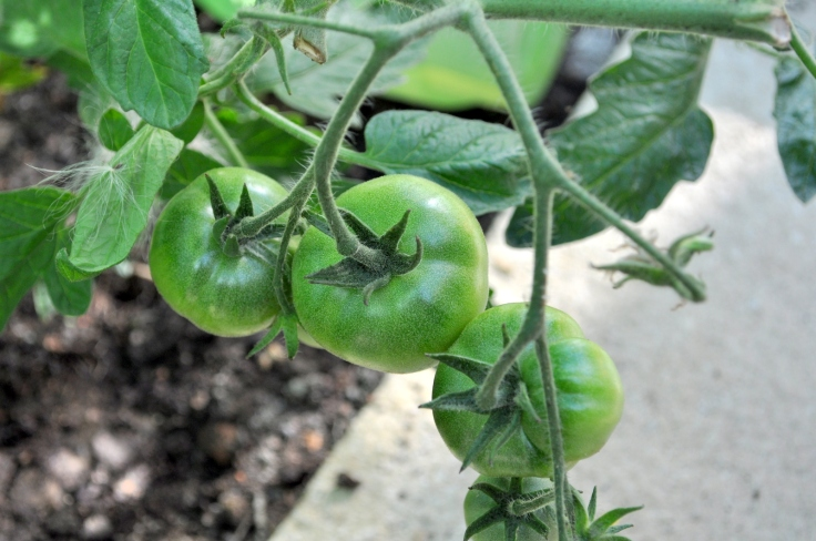 Hopeful Tomatoes.
