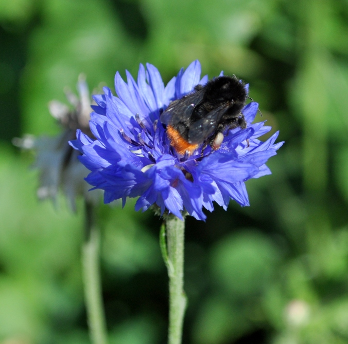 Red bummed Bee on Cornflower.