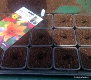 Seed sowing Dahlia 'Bishops children'