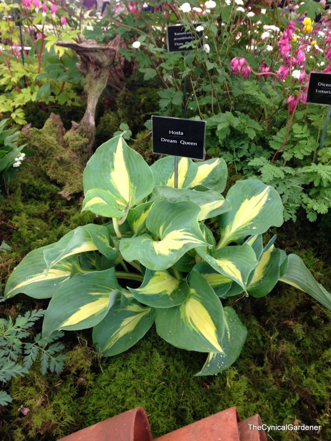 Hosta Dream Queen.