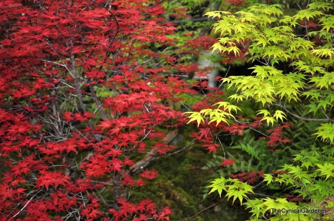 Acer Species.