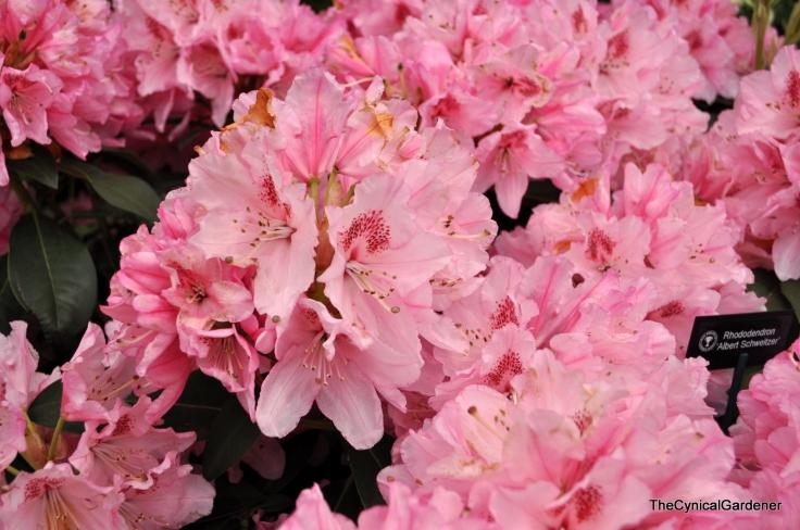 Rhododendron 'albert schweitzer'.