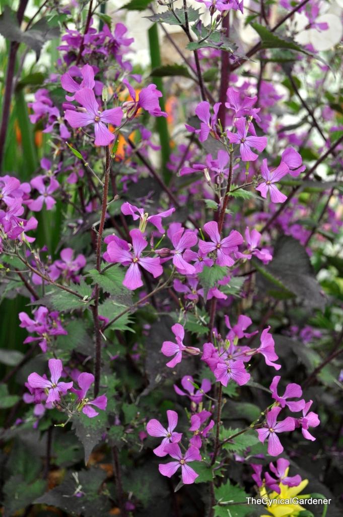 Lunaria annua Chedglow