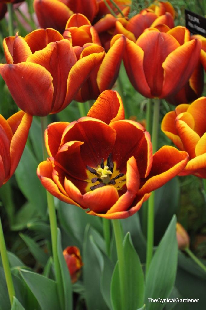 Tulip Abbu Hassan.