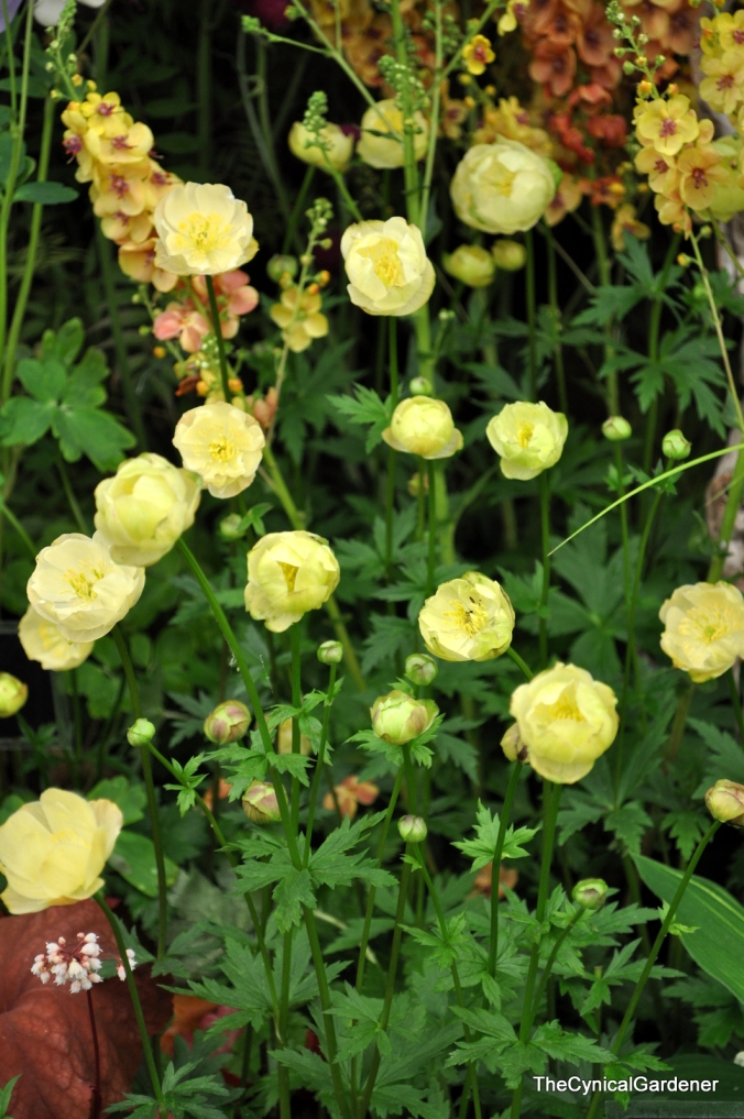 TROLLIUS x cultorum 'New Moon'