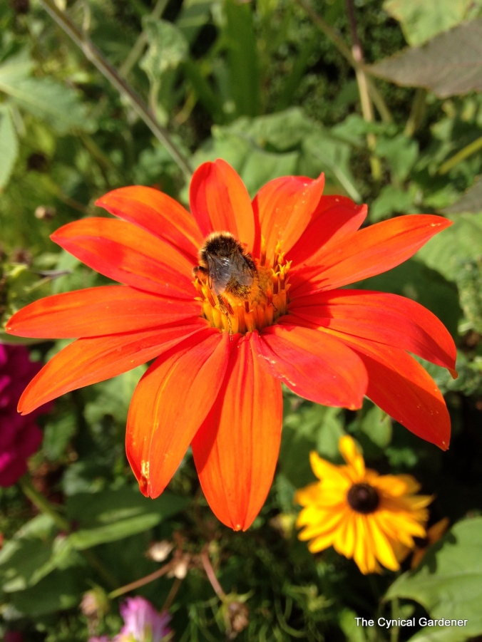 Tithonia with Bee.