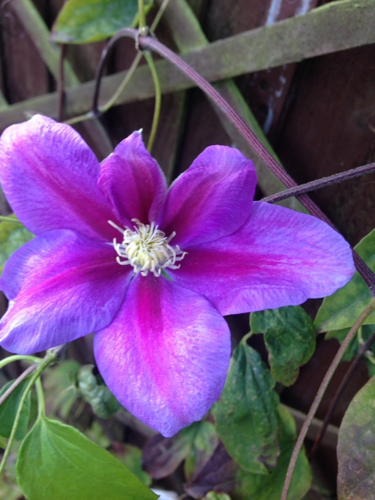 Confused Clematis.
