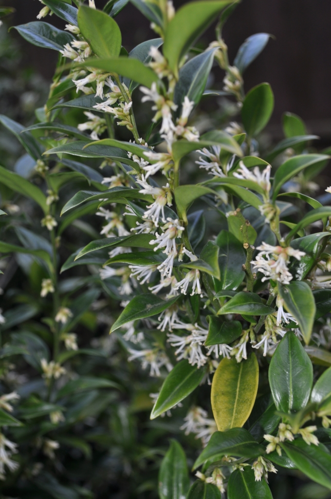 Sarcococca in full flower.