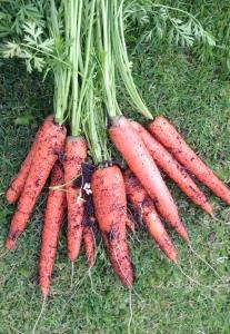 Splendid Carrots.
