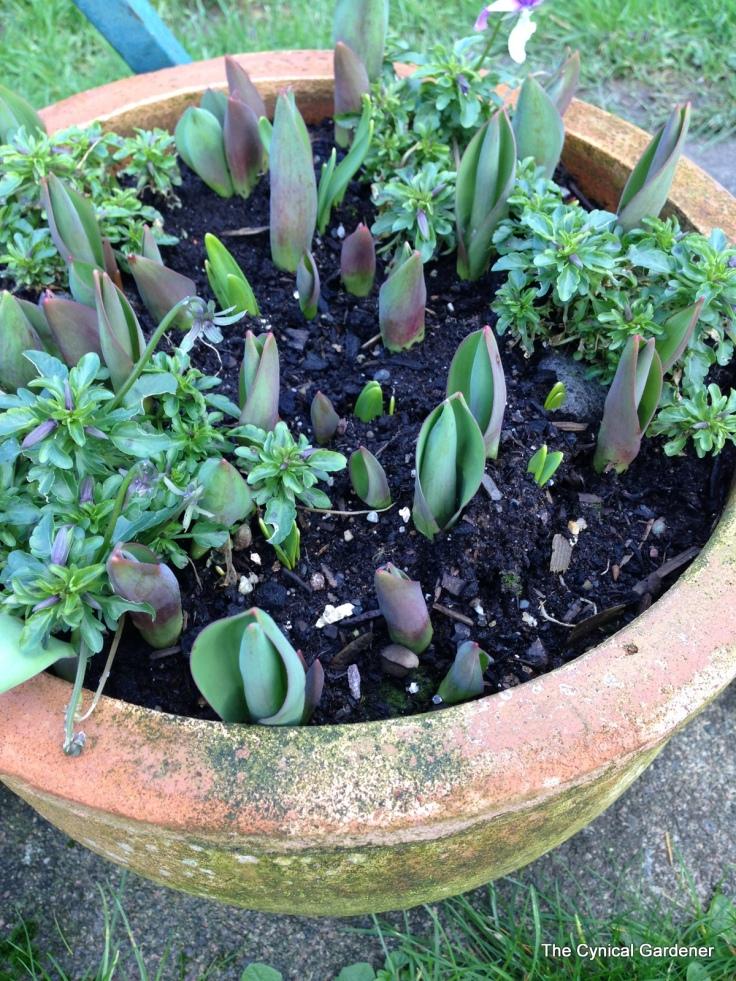 Tulips emerging....