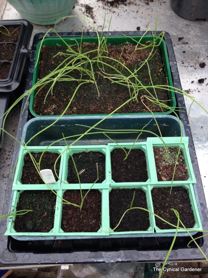 Onion seedlings looking a bit rubbish.