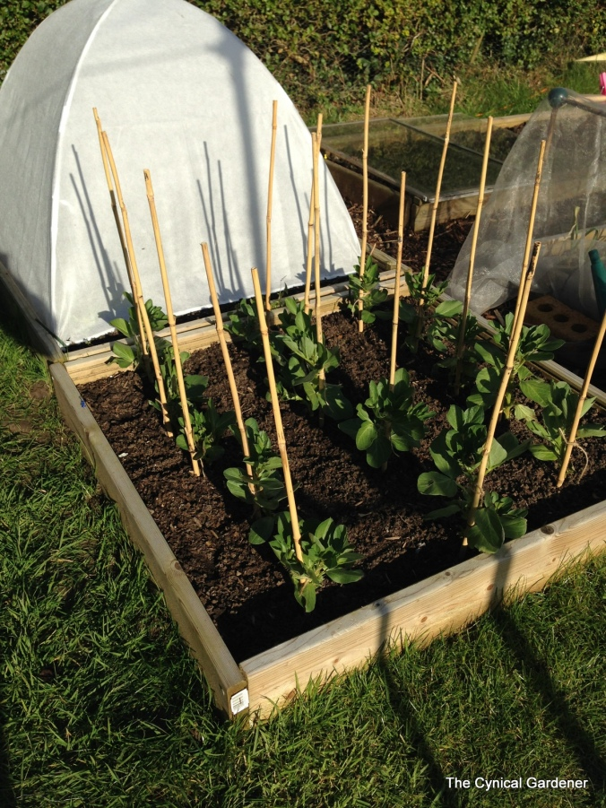 Broad Beans at the stake.