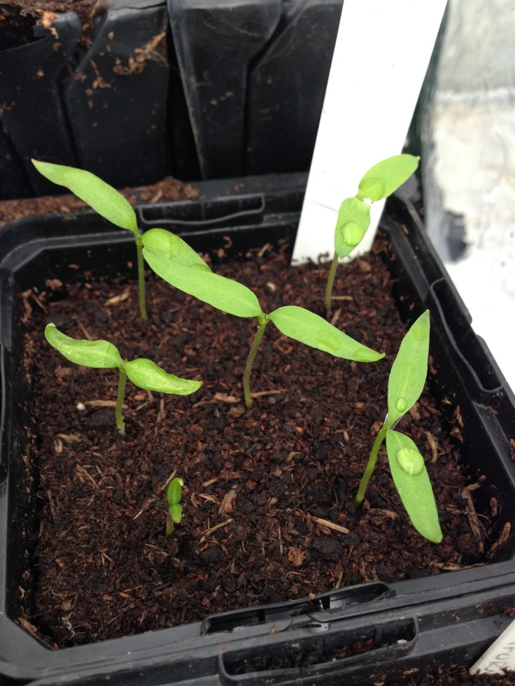 Chillies in action.