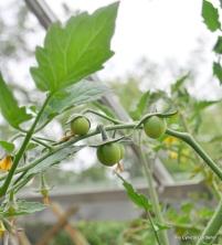 First Tomato set